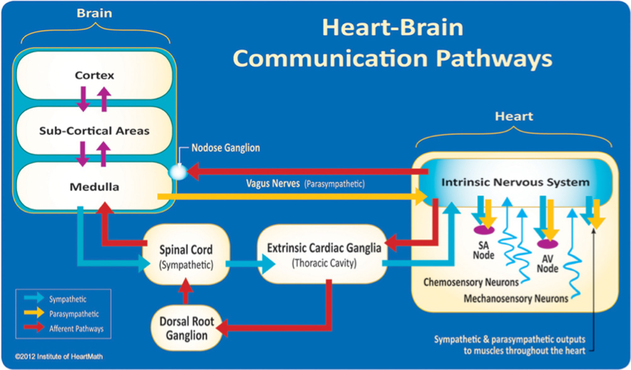 interconnected intrinsic cardiac ganglia - 964×565